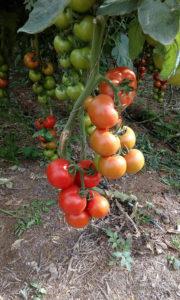 Proveedor tomate Tisajorey, S.L. Finca zona sur de Gran Canaria