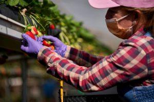 HiperDino prevé comercializar más de 150.000 kilos de fresas de Gran Canaria y Tenerife